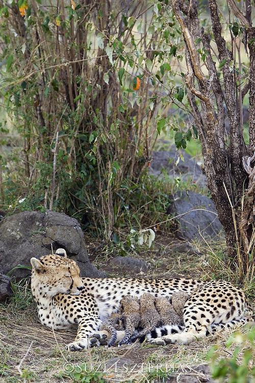 Cheetah<br /> Acinonyx jubatus<br /> Mother sleeping with 9 day old cubs in nest <br /> Maasai Mara Reserve, Kenya