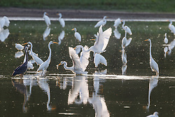 Backlit great egrets in pond, Great Trinity Forest, Dallas, Texas, USA