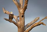 Bald Eagle, Haliaeetus leucocephalus, Ft.Myers, Florida