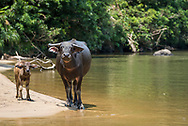 Rimbang Baling Wildlife Sanctuary, Sumatra, Indonesia, August 2017. Waterbuffalo roam the shores of the subayang river. International volunteers of Biosphere Expeditions work together with local scientists of the WWF project to  protect the Sumatran Tiger. The 'citizen scientists' survey the rainforest on foot and in boats, looking for tracks, kills, scats and the animals themselves, and setting camera traps. They also work with local people on capacity-building and creating local incentives for tiger conservation. All this in an effort to mitigate human-wildlife conflict and create strategies to ensure the survival of the critically endangered Sumatran tiger into the future. Photo by Frits Meyst / MeystPhoto.com