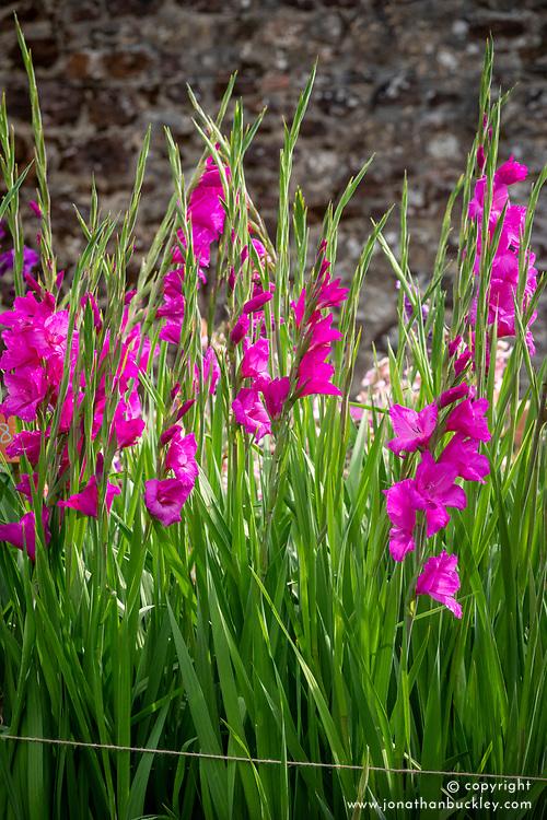 Gladiolus 'Fidelio'