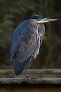 The Great Blue Heron is a large wading bird and North America's largest heron. Common throughout North and Central America, this Great Blue Heron is spending the winter around the fresh water streams of Squamish, British Columbia, Canada.