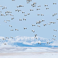 snow geese over the rocky mountain front, freezeout lake montana