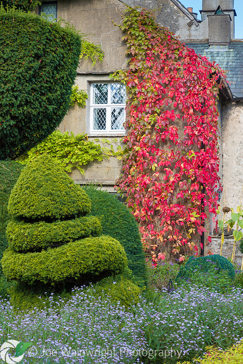 Virginia Creeper clings to the wall of Beaumont's House, at Levens Hall, Cumbria.  Photographed in October.