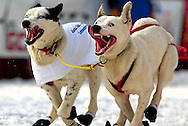 04 March 2006: Anchorage, Alaska - The dogs of Tollef Monson charge down the road during the Ceremonial Start in downtown Anchorage of the 2006 Iditarod Sled Dog Race