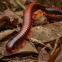 Madagascar Fire Millipede (Aphistogoniulus hova), found in the rainforest of Masoala National Park. Antsiranana, Madagascar.