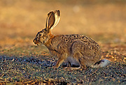Cape hare (Lepus capensis) Also Desert hare. Cape hares are found throughout Africa, and have spread to many parts of Europe, the Middle East and Asia. They are nocturnal herbivores typically eating grass and other types of shrubs. Photographed in the Negev Desert, Israel