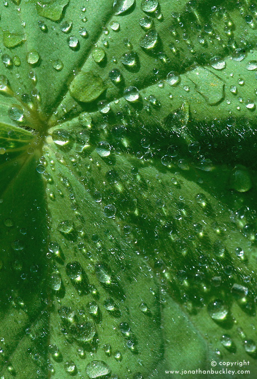Water droplets on a leaf of Alchemilla mollis - Lady's mantle