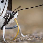 Great Nawab (Polyura eudamippus) butterfly in Chaloem Phrakiat Thai Prachan National Park, Thailand.