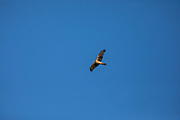 Northern harrier, Circus cyaneus,  soaring, Anahuac National Wildlife Refuge, coastal marsh, Texas, winter