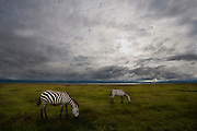 Zebras grazing early morning, Ngorongoro Conservation Area, Tanzania.