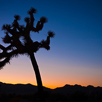 Joshua Tree at sunset in Southern California.