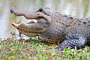 American Alligator sunning with open mouth.<br /> - Savannah National Wildlife Refuge<br /> Hardeeville, SC U.S.A