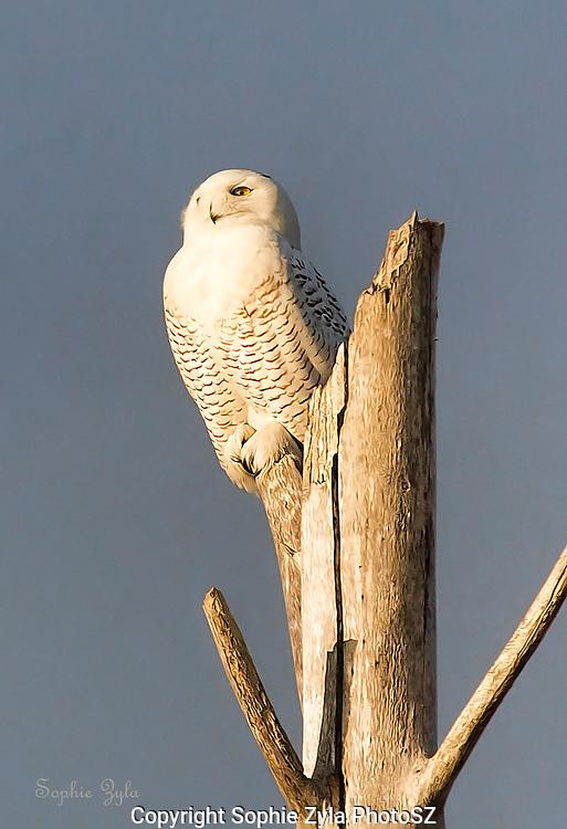 Snowy Owl Lookout