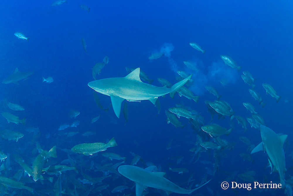 bull sharks, Carcharhinus leucas, dash through spawning aggregation of mutton snappers, Lutjanus analis, hoping to seize fish distracted by sex; note white cloud off fish eggs and milt; Gladden Spit & Silk Cayes Marine Reserve, off Placencia,  Belize, Central America ( Caribbean Sea )