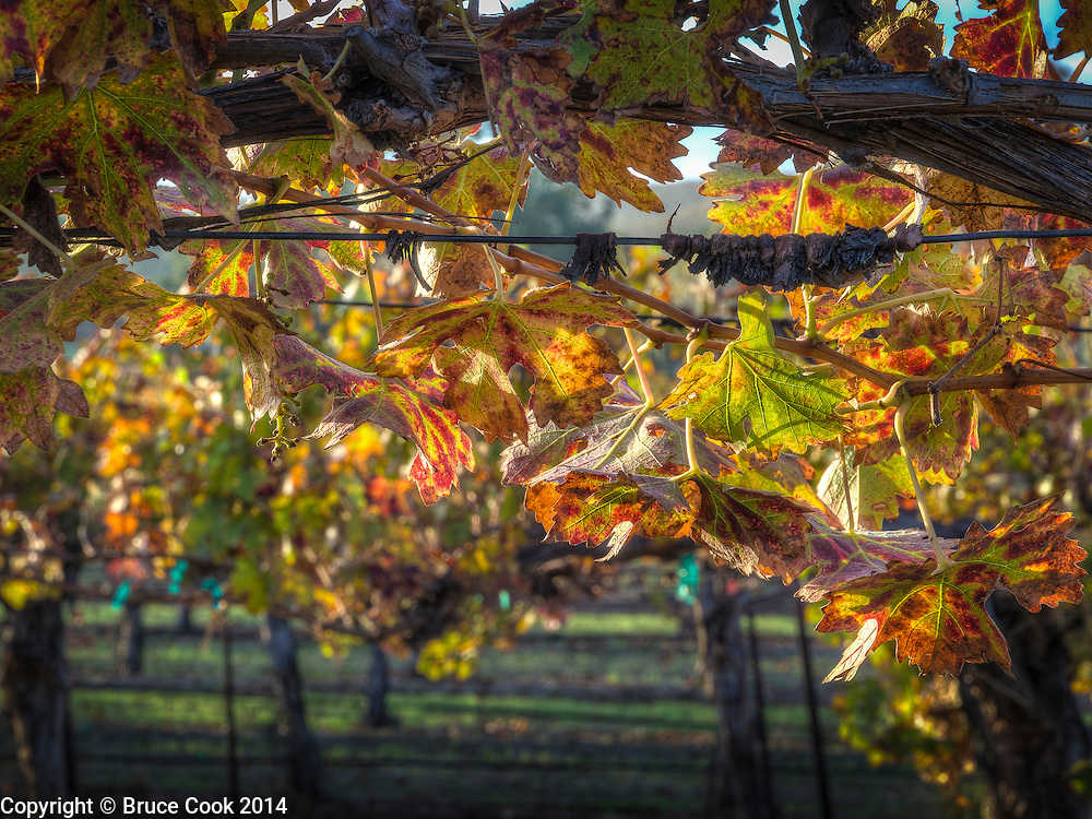 Vines in Fall