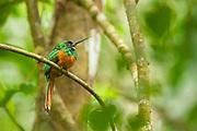 Rufous-Tailed Jacamar in Parque Nacional Carara, Costa Rica