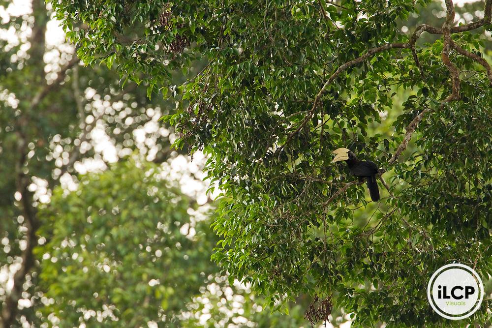Black Hornbill (Anthracoceros malayanus) male in tree, Tawau Hills Park, Sabah, Borneo, Malaysia