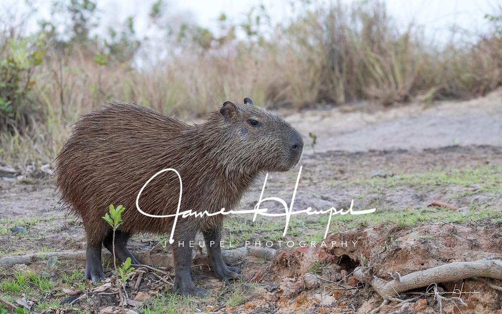 Adult Capybara on Bank