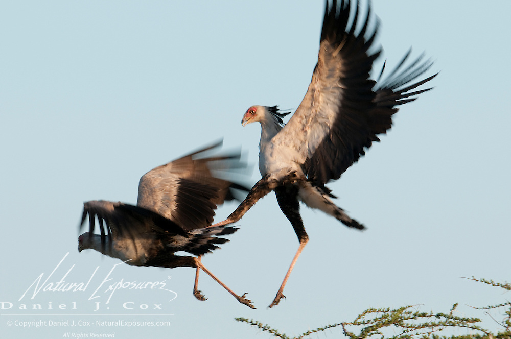 Secretary Birds (Sagittarius serpentarius) fighting. Masai Mara National Reserve, Kenya, Africa