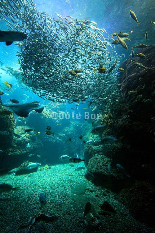 large aquarium with many diferent type of fish and large school of sardine