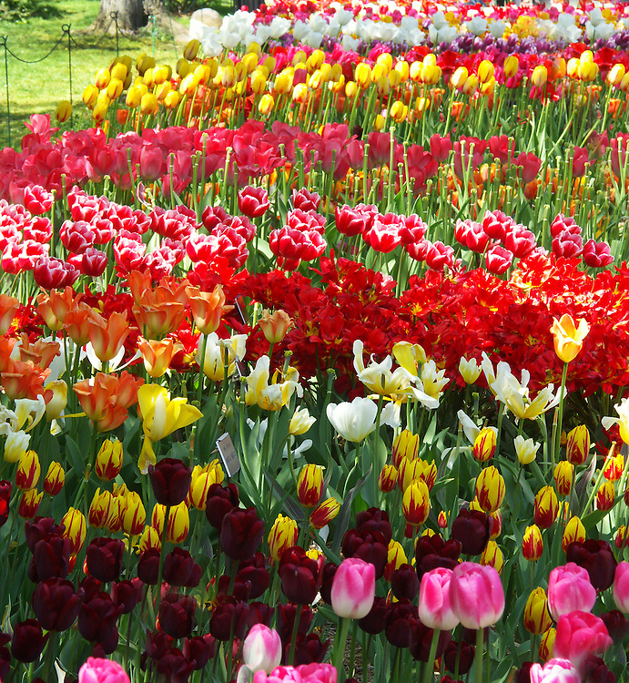 An ocean of tulips near the lily pond.