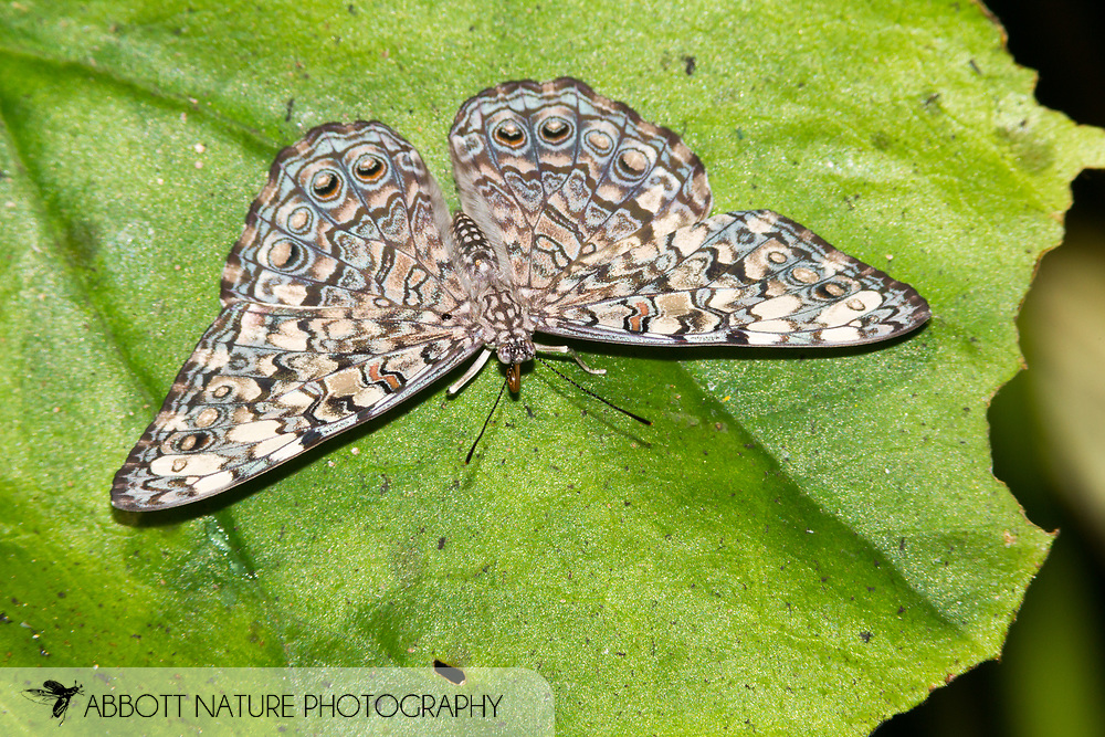 Gray Cracker or Grey Cracker (Hamadryas februa)<br /> Belize: Cayo District<br /> Green Hills Butterfly Ranch<br /> 10-Aug-2015<br /> J.C. Abbott