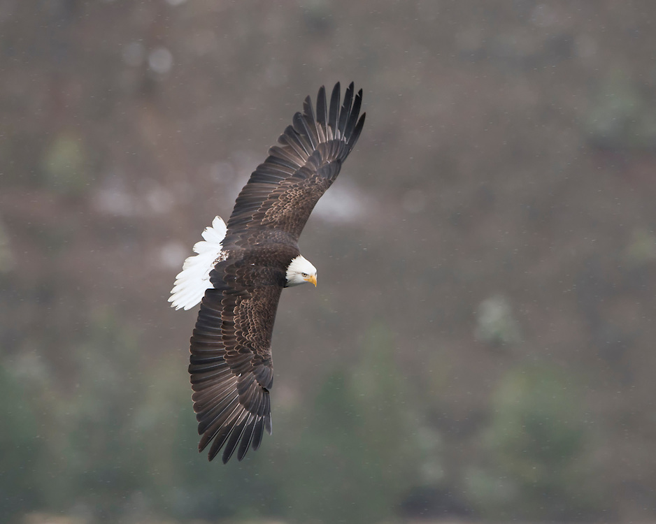 Bald Eagle (Haliaeetus leucocephalus) in Flight, Idaho