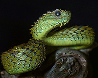 Hairy Bush Viper (Atheris hispidus)