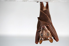 Atlantic Ocean Fruit Bat