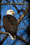 bald eagles in Squamish BC Canada