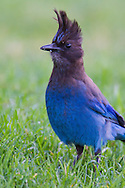 A Steller's Jay stands tall in short grass