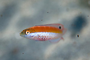 Suezicthys aylingi (Crimson cleanerfish)