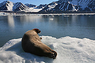 30: SVALBARD BEARDED SEAL