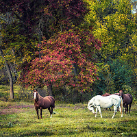 Autumn rural landscape with horses in America