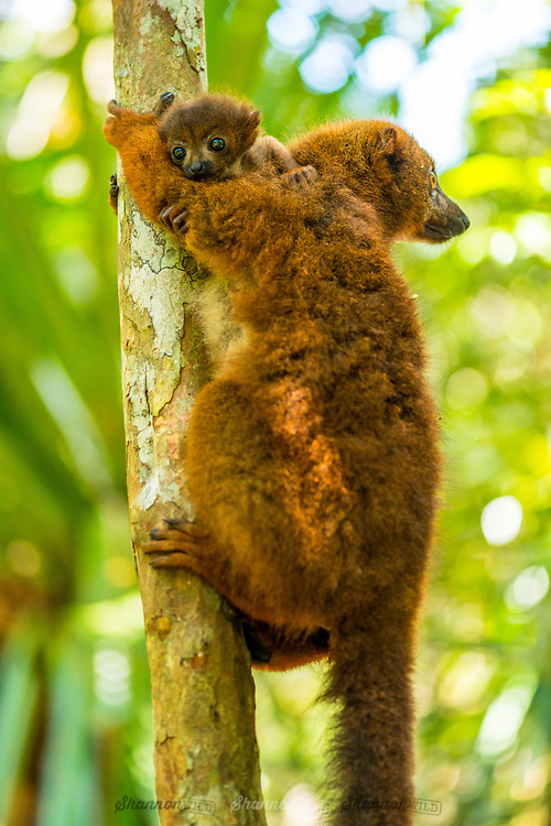 "Red-bellied Lemur (Eulemur rubriventer) is endemic to eastern Madagascan rainforests and is distinguished by patches of white skin below the eyes, giving rise to a ""teardrop"" effect, particularly conspicuous in the male."