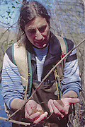 Monument Ecologist Charlie Crisfulli Holds Northwestern Salamander (Ambystoma gracile) Egg Sacks, Mt. St. Helens National Volcanic Monument, Washington, US, March 2005