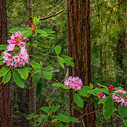 Kruse Rhododendron State Natural Reserve, California