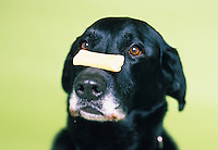 A black lab with a doggy treat balanced on it's snout.