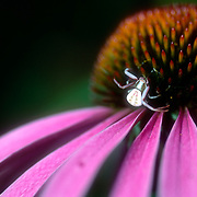 Crab Spider on Purple Coneflower in a backyard in Ashville, NC