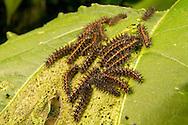 Bordered Patch - Hodges#4499 (Chlosyne lacinia) caterpillars on leaf<br /> TEXAS: Travis Co.<br /> Hornsby Bend; Austin<br /> 3-May-2015<br /> J.C. Abbott &amp; K.K. Abbott