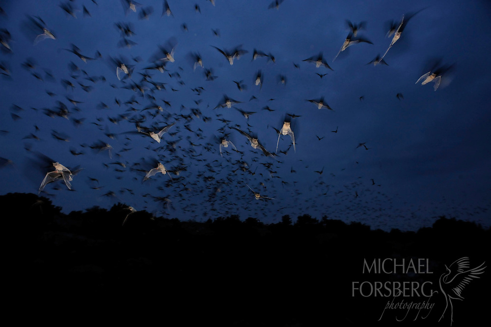 As night falls, millions of Mexican free-tailed bats take flight in Texas, New Mexico, and Oklahoma, roaming up to 50 miles from their caves.  Each bat can consume over 3,000 mosquitoes and other flying insects on a summer's night.  Major County, Oklahoma.