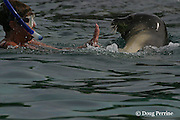 RM 34, an aggressive adolescent male Hawaiian monk seal, Monachus schauinslandi ( Critically Endangered Species ), about two and a half years old, makes unwanted advances toward snorkeler at Honaunau, Hawaii Island ( the Big Island )