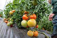 Tomater odlas i tunnelv&auml;xthus hos Oceanside Farms.<br /> Homer, Alaska, USA