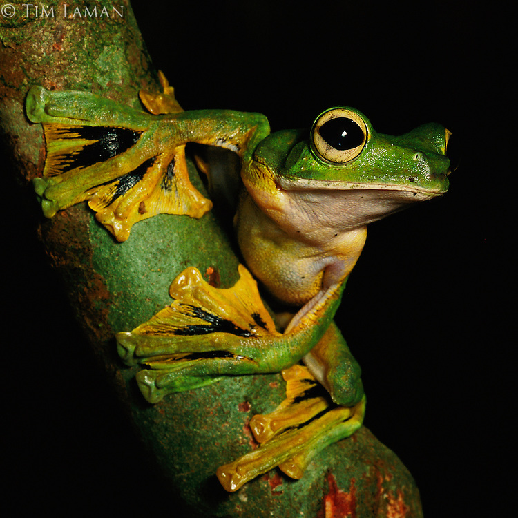A Wallace's flying frog (Rhacophorus nigropalmatus) on a lichen-covered tree branch.