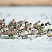 pintail ducks resting on edg of ice