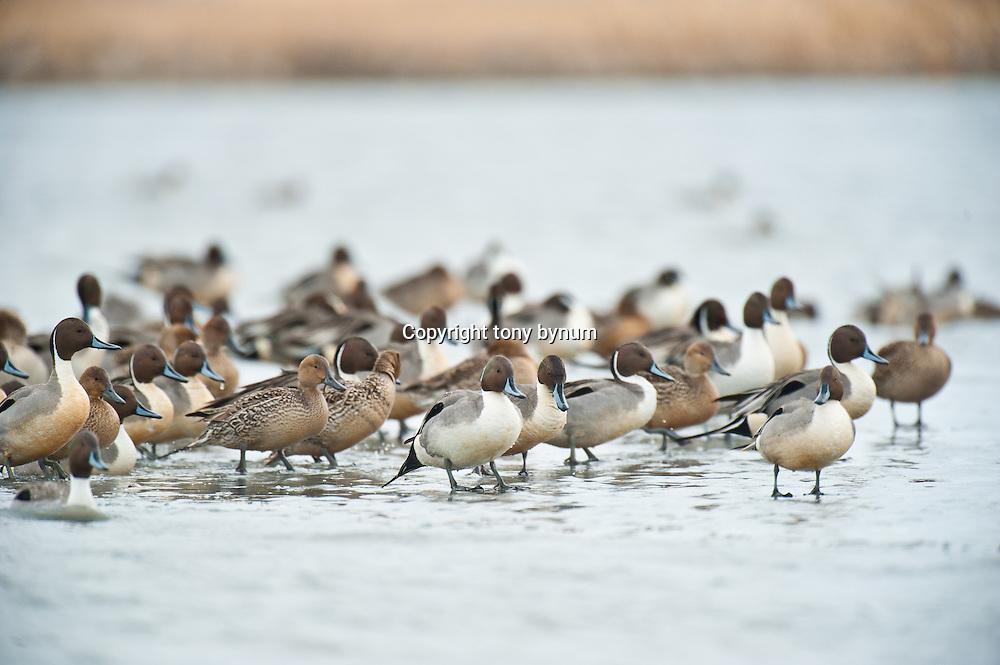 pintail ducks resting on edg of ice