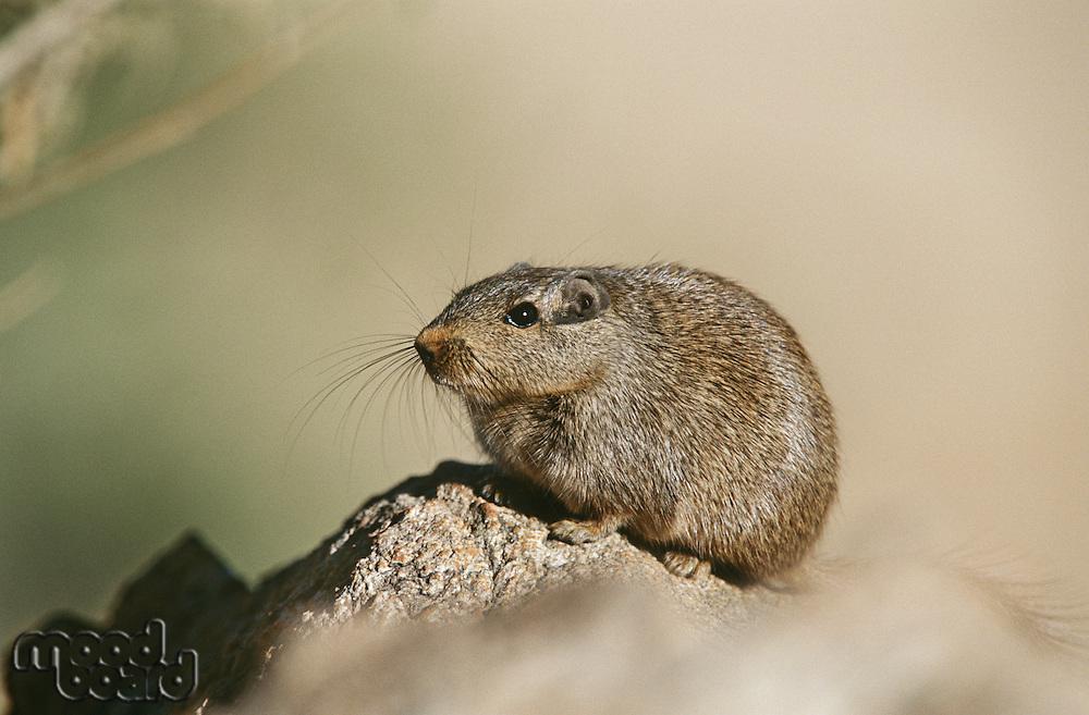 Desert Rat on rock close up