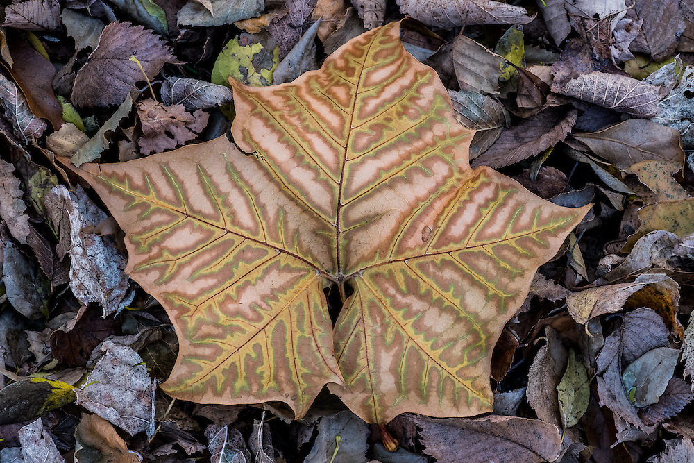 A single large autumn leaf on a carpet of fallen smaller leaves in Tyler, Texas