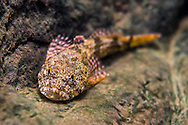 Banded Sculpin<br /> <br /> Isaac Szabo/Engbretson Underwater Photography